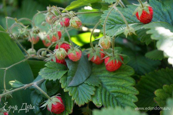 Соберем урожай земляники. Ее польза неоценима, она содержит много витаминов, большое количество ароматических веществ, представляет также большую ценность, и, как продукт диетического питания.