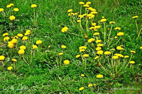 А вот лужайка под окном у меня, самый любимый вид! К сожалению, завтра-послезавтра всю красоту скосят, где не надо, службы домоуправления быстрые...