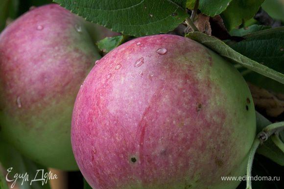 Рано утром выходим в сад и срываем яблоки прямо с дерева, пока на них еще виднеется роса.