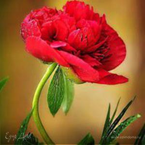 Flowers PIona