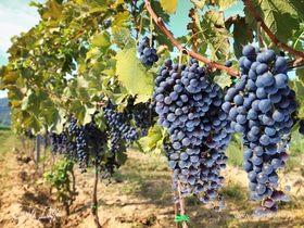Праздник сбора винограда в Румынии