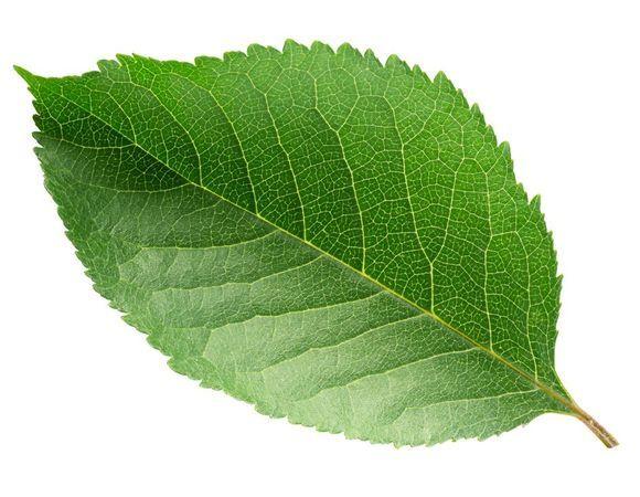 Вишневые листья