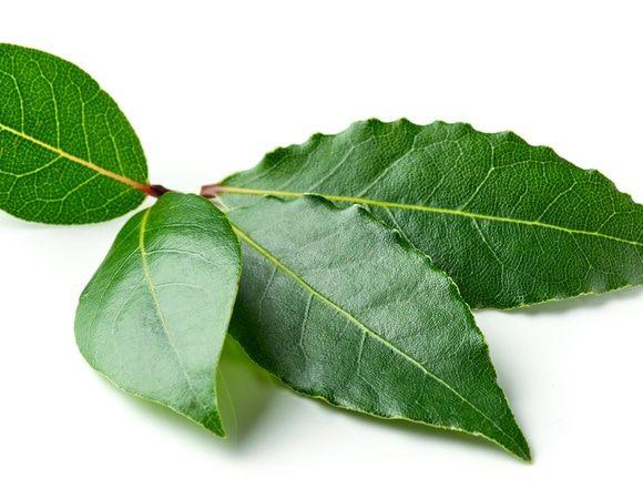 Лавровые листья свежие
