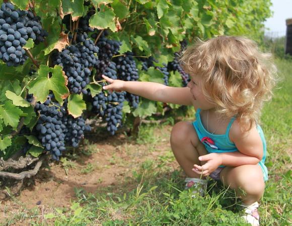 Закваска на винограде