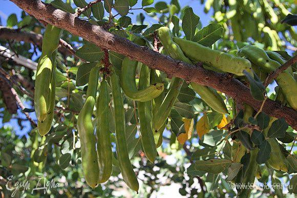 Родиной рожкового дерева считается Палестина, где оно встречается в диком состоянии. Это дерево лучше всего произрастает на сухой каменистой почве, пуская многочисленные крепкие корни в трещины и расщелины. Ствол его, покрытый темно-серой или бурой корой, не велик—он имеет в вышину не более 7—10 метров, но зато он чрезвычайно крепок и долговечен: рожковое дерево может жить несколько столетий. От могучего ствола его во все стороны расходится множество искривленных сучьев и ветвей, покрытых овальными, твердыми, как кожа, парноперистыми (2—3-парными) листьями; эти листья никогда не желтеют—они остаются вечнозелеными. Период цветения начинается в конце февраля. Мелкие пурпурно-красные цветочки располагаются в форме виноградной кисти. Плоды, имеющие в длину 15—20 см., а в ширину 2—3 см., созревают в мае; они представляют собою не растрескивающееся бобы с мясистыми жесткими стенками, в которых заключены твердые блестящие чечевицеобразные семена. Свежие плоды обладают острым вяжущим вкусом и поэтому для еды не годятся; их собирают незрелыми и раскладывают на земле—под действием палящих лучей знойного южного солнца плоды скоро созревают, делаются сладкими и съедобными. Древние греки, получавшие сладкие стручки из Малой Азии, дали им кличку египетских винных ягод, по всей вероятности потому, что стручки, как и винные ягоды, растут на очень старых корявых деревьях. Семена сладких стручков имеют приблизительно одинаковый вес поэтому греческие и римские ювелиры употребляли их в качестве единиц веса—каратов. Караты до сих пор не вышли из употребления, ими и теперь еще определяют вес драгоценных вещей (золота и бриллиантов). Рожковое дерево, однако, было известно в Европе еще задолго до появления арабов, но оно культивировалось, как экзотическое растение, частью для декоративных, частью для религиозных целей. Рожковое дерево, даже очень старое, обнаруживает признаки довольно деятельной жизни: оно цветет и дает плоды, несмотря на свой весьма преклонный возраст. Рожковое дерево отл