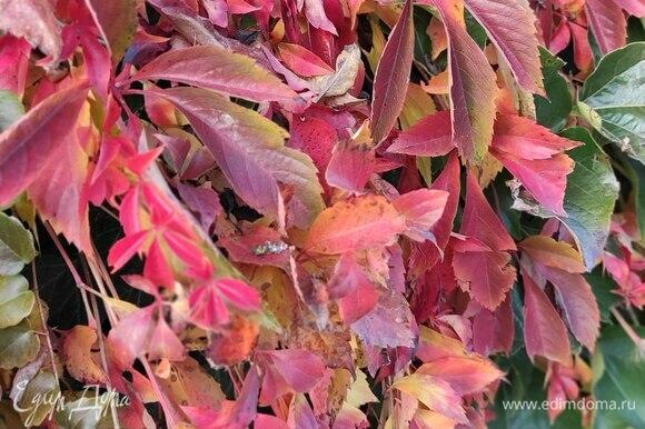 Осенний дикий виноград.