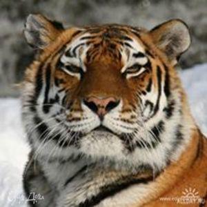 tigr6667